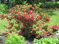 ** Le Weigela ** - 1/2 (Impatience_1) Tags: weigela arbuste shrub fleur flower m impatience saveearth supershot coth c fantasticnature abigfave alittlebeauty sunrays5 coth5