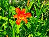 2017 6 10 Alta Valle Intelvi, Giglio di San Giovanni (Lilium bulbiferum) (mario_ghezzi) Tags: lanzodintelvi lombardia italia intelvi valledintelvi nikon coolpix nikoncoolpix p7000 coolpixp7000 nikonp7000 nikoncoolpixp7000 marioghezzi noreflex altavalleintelvi 2017 giglio gigliodisangiovanna liliumbulbiferum