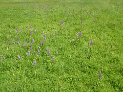 Dactylorhiza, commonly called marsh orchid or spotted orchid (Linda DV (away)) Tags: lindadevolder plantentuin nationalbotanicgardenofbelgium 2017 nature geotagged garden belgium meiseplantentuin meise panasonic lumix ribbet dactylorhiza orchid orchidaceae asparagales
