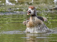Young Egyptian goose (Corine Bliek) Tags: alopochenaegyptiacus birds bird vogel vogels natuur nature jongen baby young small klein wassen washing bathing happy