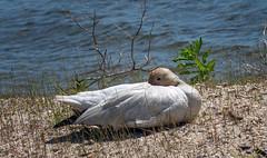 Snow Goose (Black Hound) Tags: sony a500 minolta goose snowgoose snowgeese edwinbforsythenwr