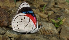 Mesotaenia vaninka (Camerar) Tags: mesotaeniavaninka nymphalidae peru butterflies butterfly insect