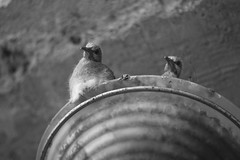 neighbors (sopo_chinchaladze) Tags: neighbors blackandwithe blackwhite bird birds pigeons pigeon neighbor ngc