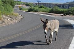 7-13-17 jenny (EllenJo) Tags: donkeys burros clarkdaleburros canonrebel july13 2017 ellenjo verdecanyonrailroad depot traindepot equine