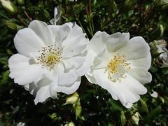 ┋Noche Mágica ☽ (Éric…Mon chemin ⊰♥) Tags: flower flowers roses nature canon plante garden blanc white juin june printemps spring 2017 travel photography light