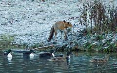 Fox with cold feet. (timetrialist5249) Tags: animal fox foxandprey ducks pond pondlife nature mammal frostymorning frost winter winterscene