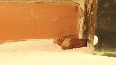 Busy potter wasp (Geminiature Nature+Landscape Photography Mallorca) Tags: potterwasp avispasalfareras avispas wespen leemwespen mallorca vespidae masonwasp nido nest building construction bouwen movie film pelicula
