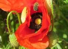 03-IMG_0181 (hemingwayfoto) Tags: blühen blüte blütenstempel blume flora gift heilpflanze kapsel klatschmohn medizin mohn mohnkapsel natur opiate opium pflanze rauschgift reif rot samen samenkapsel schwarz wild wildblume wildpflanze