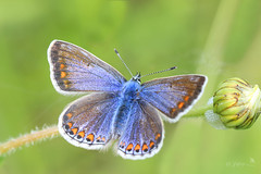 Common blue (f) #52 in explore 7.6.17 (~ **Barbara ** ~) Tags: commonblue butterfly wild canon7dii blue tiny small explored 52 7617