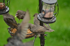 Carnage! (Orange Dean) Tags: young starling chick mealworms feeder outdoors bird nikon d3100