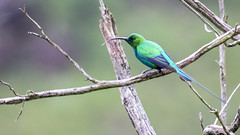Malachite sunbird (Hans van der Boom) Tags: holiday vacation southafrica zuidafrika sawadee drakensbergen kwazulunatal sa animal bird malachite sunbird bright metallic