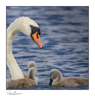 A little weed for the cygnets