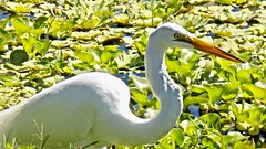 Heron on the Hunt (BlueisCoool) Tags: flickr foto photo image capture picture photography nikon coolpic l330 egret bird blue green plants water waterway pond outdoor nature florida herononthehunt largocentralparknaturepreserve largoflorida great