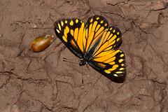 Chiricahua White (Neophasia terlootii), Hauchuca Canyon, Sierra Vista, Arizona (kmalone98) Tags: chiricahuawhite whitesandsulphurs butterflies kenkertell kathymalone