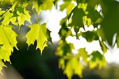 photosynthesis (l i v e l t r a) Tags: nikkor f2 d610 maple leaf photosynthesis green sunshine bokeh smooth blur summer