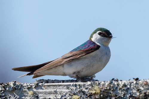 Violet-green Swallow (Male) with Food for Nest