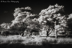 Trees IR 720nm (.Brian Kerr Photography.) Tags: cumbria edenvalley photography infrared ir 720nm trees mono blackandwhite nature naturallandscape natural outdoor outdoorphotography sony a6000 briankerrphotography briankerrphoto tree landscape monochrome