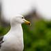 Princes Street - Gull