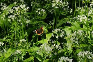 Admiral (Vanessa atalanta) auf Bärlauch (Allium ursinum) - lecker!; Bergenhusen, Stapelholm (1)