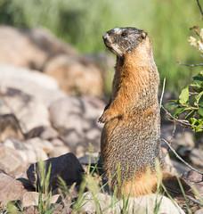 groundhog Explored (Jami Bollschweiler Photography) Tags: ground hog whistle big marmot yellow bellied utah uintahs mountains wildlife photography critter