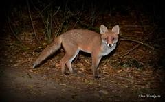 Red Fox cub - Buckinghamshire (Alan Woodgate) Tags: fox wild uk red