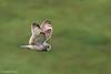 Schotland 2017-64 (Switch62) Tags: scotland 2017 mull velduil short eared owl