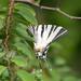 Подалирий / Iphiclides podalirius / Scarce Swallowtail / Лястовичата опашка / Segelfalter