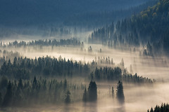 coniferous forest in foggy mountains (yamilaayala) Tags: forest fog fir mountain landscape nature morning mist beautiful tree autumn sunrise pine natural season outdoor color haze park conifer environment dark summer background light travel wood misty europe trees green foliage foggy view hill sunlight blue tops silhouette meadow hillside romania
