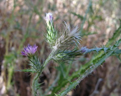 Italian thistle (Jeff Goddard 32) Tags: wildflowers midlandschoolproperty santabarbaracounty california italianthistle nonnative carduus carduuspycnocephalus