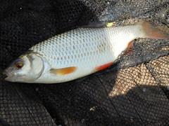 Paradise5 (stephengaskin) Tags: paradise lake fishing lakenheath fish roach