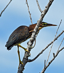 Green Heron (Stan in FL) Tags: green heron butorides virescens birds birding nature natur nikon d500 lake apopka north shore trail florida
