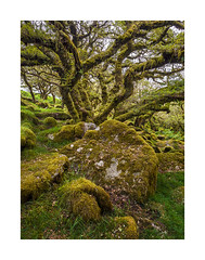Wistman's Wood, Dartmoor, Devon, UK (SimonHMiles) Tags: devon dartmoor wood woodland forest trees foliage leaves green summer tree