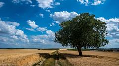 Bald beginnt die Erntezeit (J.Weyerhäuser) Tags: mainz blumen insekten felder getreide baum erntezeit cornfield tree way grün