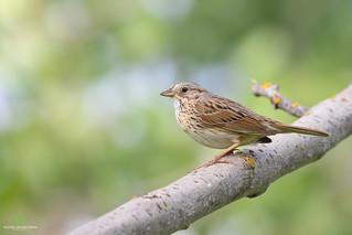 Lincoln's Sparrow - Bruant de Lincoln - Melospiza lincolnii