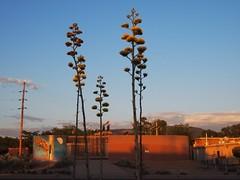 Rare Blooming of Century Plants (suenosdeuomi) Tags: agaveamericana centuryplant railyardpark santafe newmexico olympus olympuspenepm1