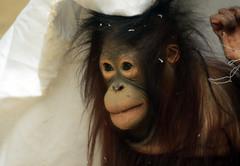 orangutan Ouwehands JN6A3435 (joankok) Tags: orangoetan orangutan sumatra sumatranorangutan sumatraanseorangoetan ouwehands animal asia azie aap ape mammal monkey mensaap zoogdier dier
