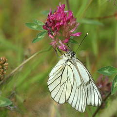 Black-veined White (ƒliçkrwåy) Tags: black veined white butterfly aporia crataegi lanveoc nature flower furneaux
