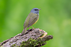 Mourning warbler (Phiddy1) Tags: