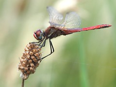 Zwervende heidelibel | Red-veined darter (**AB**) Tags: zwervendeheidelibel redveineddarter sympetrumfonscolombii