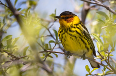 Colourful (rmikulec) Tags: songbird birds cape may warbler nature photography photo migration spring colour yellow wild wildlife