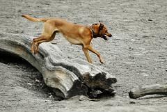 Dog Park (gornabanja) Tags: dog doggie park play jump jumping playing brown happy fun action active hasenheide neukölln berlin nikon d70