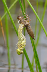 Southern Hawker (Aeshna cyanea). (Bob Eade) Tags: dragonflies odonata nature nikon wildlife ashdownforest waterlife excuvia southernhawker summer eastsussex sussex