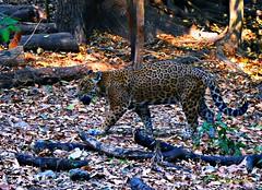 Jaguar, Tuxtla Gutiérrez, Chiapas, México...DSC_2783P (gtercero) Tags: 20170417 jaguar tuxtlagutiérrez chiapas méxico jchr gtercero