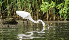 Great Egret strikes its prey (johnny4eyes1) Tags: birds wader bayardcuttingarboretum egret shorebirds wadingbirds nature