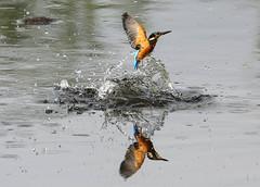 Kingfisher Juvenile Alcedo atthis 002-1 (cwoodend..........Thanks) Tags: 2017 june2017 kingfisher kingfisherjuvenile alcedoatthis brandonmarsh brandon brandonmarshnaturereserve naturereserve nature warwickshirewildlifetrust warwickshire steetleyhide