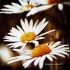 (monsch50) Tags: garden garten margeriten flower blumen