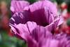 Purple Petals (Heaven`s Gate (John)) Tags: puple flower petals garden nature botanical england lapworth packwood house macro closeup johndalkin heavensgatejohn