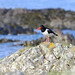 Oyster Catcher (wivvy is getting there.) Tags: