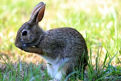 Bunny (Richard Y.J.) Tags: bunny rabbit animals