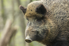 Wild boar portrait (adambotond) Tags: wildboar susscrofa sus suiformes mammal outdoor animal nature naturephotography wildlife wild wildlifephotography börzsöny portrait canon canoneos1dx canonef400mmf56l magyarország hungary europe boar hog tusk